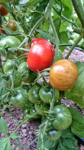 Paradajky - pestovanie