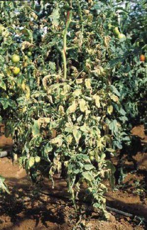 Fuzarióza Vädnutie paradajok