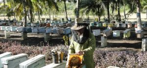 Kubánske včelárstvo
