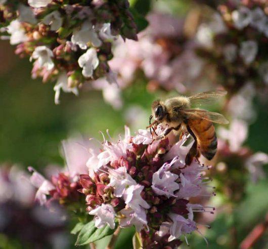 Včelárenie v Kanade